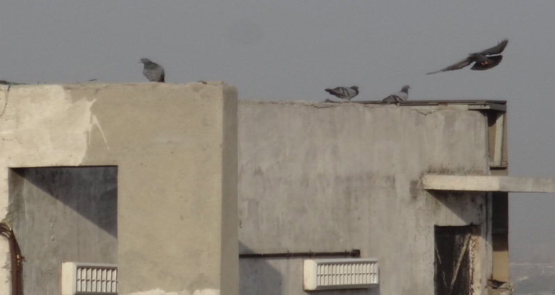 Keep Pigeons Away from Parapet Walls